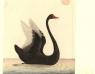 ברבור שחור